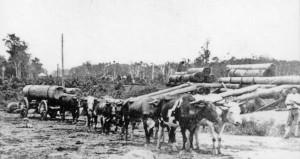 John-Low-with-Bullock-Team-Yandina-1904
